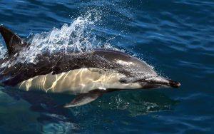 Common Dolphin – Genus Delphinus.