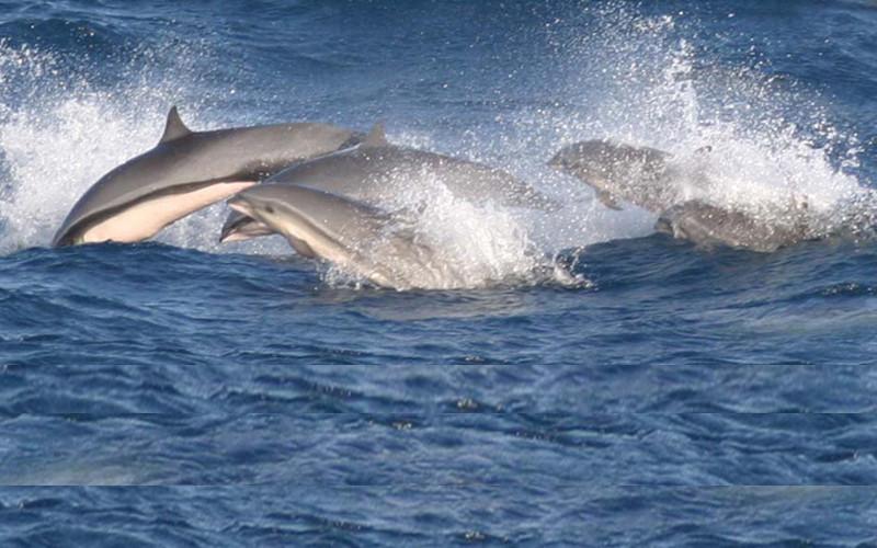 Fraser's Dolphin (Lagenodelphis hosei)