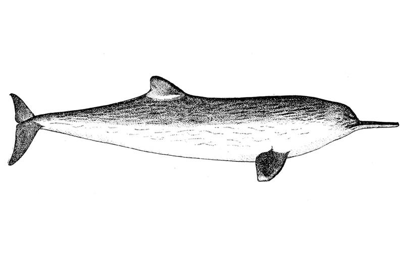 La Plata Dolphin (Pontoporia blainvillei)