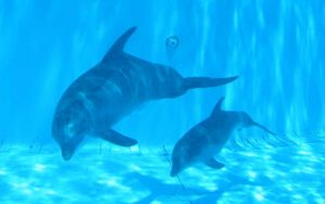 Dolphin mother and calf.