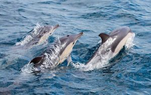 Communication and socialization of dolphins.