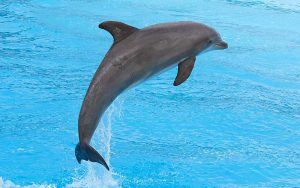 Bottlenose dolphin jumping in the aquarium show.